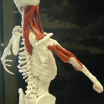 Meat Skeleton
